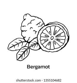 Bergamot vector illustration. bergamot line drawing