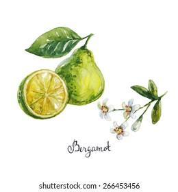 bergamot. watercolor illustration