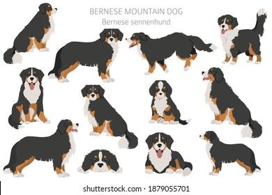 Bernese mountain dog infographic. Different poses, Bernese sennenhund puppy.  Vector illustration