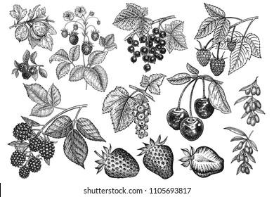 Berries big set. Realistic strawberries, cherries, raspberries, blackberries, goji, currants, blueberries, gooseberries isolated on white background. Hand drawing. Vintage. Black and white. Vector.