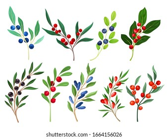 Berries Branches and Twigs Isolated on White Background Vector Set
