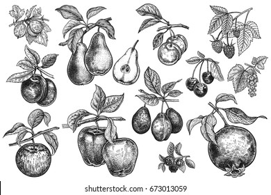 Berries and fruit big set. Apple, pear, plum, cherry, garnet, blueberry, raspberry, gooseberry, currant, branches, leaves isolated on white background. Hand drawing. Vintage. Black and white. Vector.