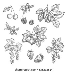 Berries sketch vector icons set. Cherry and forest blueberry or black currant and redcurrant branch, garden strawberry or raspberry and farm gooseberry harvest design for jam or juice and market shop.