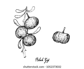 Berry Fruit, Illustration Hand Drawn Sketch of Black Goji or Lycium Ruthenicum Fruits Isolated on White Background.