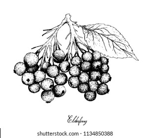 Berry Fruit, Illustration Hand Drawn Sketch of Elderberry or Sambucus Fruits Isolated on White Background. High in Vitamin C with Essential Nutrient for Life.