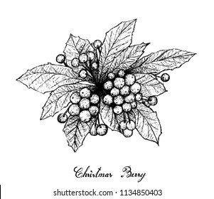 Berry Fruit, Illustration Hand Drawn Sketch of Christmas Berries or Ardisia Crenata Fruits Isolated on White Background.