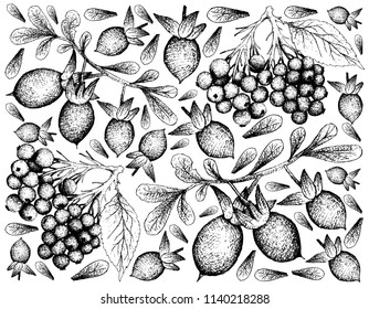 Berry Fruit, Illustration Hand Drawn Sketch of Elderberry or Sambucus and Elderberry or Sambucus  Fruits Isolated on White Background.