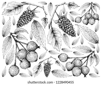 Berry Fruit, Illustration Wallpaper of Hand Drawn Sketch of Loganberries and Magenta Lilly Pilly, Magenta Cherry or Syzygium Paniculatum Fruits Isolated on White Background.