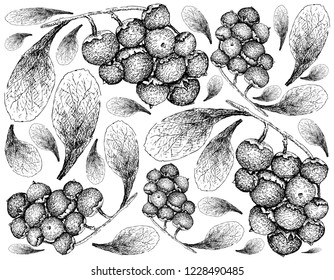 Berry Fruit, Illustration Wallpaper of Hand Drawn Sketch of Jostaberries Isolated on White Background.