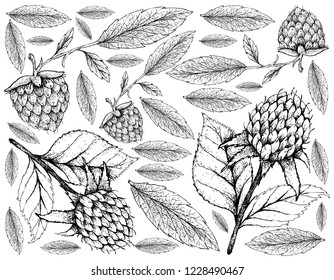 Berry Fruits, Illustration Wallpaper of Hand Drawn Sketch  Fresh Korean Black Raspberries or Rubus Coreanus and Golden Raspberries or Rubus Ellipticus Fruits Isolated on White Background.