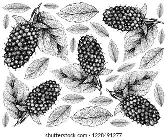 Berry Fruits, Illustration Wallpaper of Hand Drawn Sketch Delicious Fresh Kotataberry With Green Leaves Isolated on White Background. High in vitamin C and B.