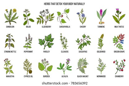 Best herbs for body detox. Hand drawn vector set of medicinal plants