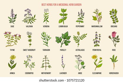 Best herbs for a medicinal garden. Vector hand drawn color collection