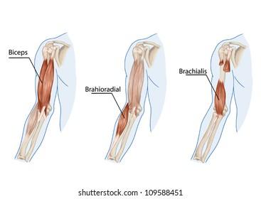 Biceps Brachii, Brachioradial, Brachialis muscles - didactic