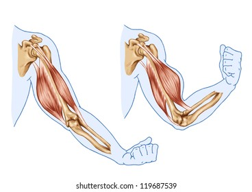 Biceps, Triceps - movement of the arm and hand muscles