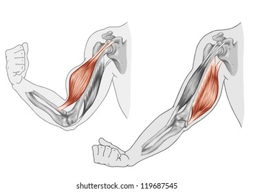 Biceps, Triceps - movement of the arm and hand muscles - Black White