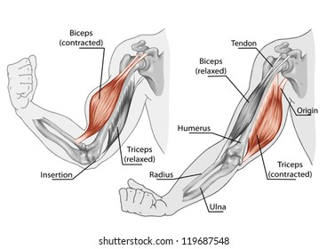 Biceps, Triceps - movement of the arm and hand muscles � board - Black White