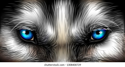 Big eyes. Siberian Husky bright blue eyes close up