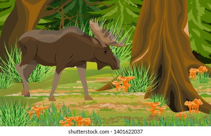 A big moose in the autumn forest. Spruce trees and grass, chanterelle mushrooms. Wild animals of Eurasia, USA and Scandinavia. Realistic Vector Landscape
