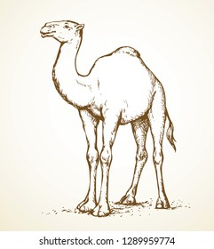 Imágenes, fotos de stock y vectores sobre Camel Drawing
