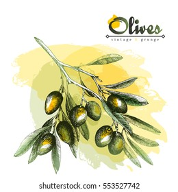 Big olive branch sketch vector illustration, olives hand drawn isolated, vintage olive tree with leaves with watercolor spots over white background. Italian cuisine.