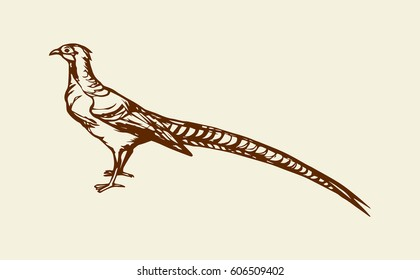 Big ringneck Phasianinae standing on light backdrop. Freehand linear dark ink hand drawn picture logo symbol sketchy in art retro scribble style pen on paper. Closeup side view with space for text