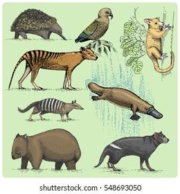 big set of australian and new zealand symbols, animal engraved, hand drawn vector , vintage drawing tasmanian wolf, kea parrot, possum, duck billed platypus, devil, numbat. wombat, echidna.