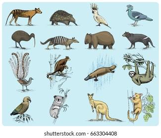 big set of australian and new zealand symbols, animal engraved, hand drawn vector , vintage drawing tasmanian wolf, kea parrot, possum, duck billed platypus, devil, numbat. wombat, koala, kiwi bird.