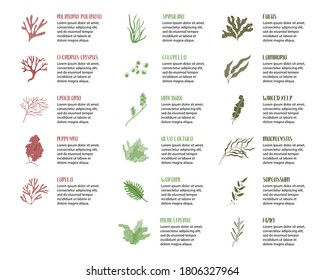 Big set of edible seaweeds. Brown, red and green algae. Sea vegetables. Vector flat cartoon illustration, isolated on white