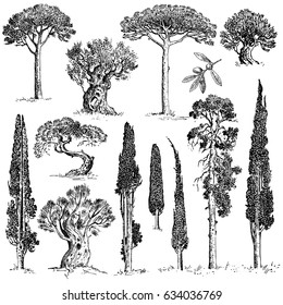 big set of engraved, hand drawn trees include pine, olive and cypress, fir tree forest isolated object