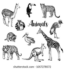 Big set of hand drawn sketch style leopard, tiger, llama, lemur, raccoon, kangaroo, giraffe, pelican, toucan and crowned crane isolated on white background. Vector illustration.