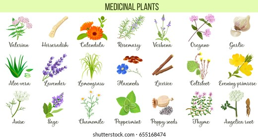 Big vector set of medicinal plants. Valerian, Aloe vera, lavender, peppermint, angelica root, Chamomile, verbena, anise, coltsfoot, thyme etc. For health care, aromatherapy, homeopathy.