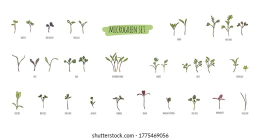Big vector set of micro greens. Herbs - carrots, chicory, purslane, radishes, beets, shungiku, cabbage, kale, alfalfa, scallion, pac choi, broccoli, mustard, gress salad on white background.