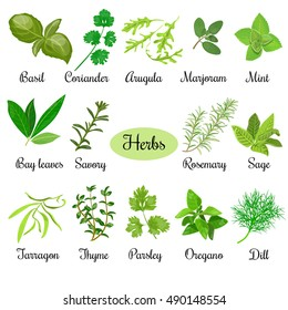 Big vector set of popular fresh culinary herbs. Basil, coriander, arugula, marjoram, mint, bay leaves, savory, rosemary, sage, tarragon, thyme, parsley, oregano, dill