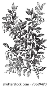 Bilberry, whortleberry or Vaccinium myrtillus engraving. Old vintage illustration of bilberry plant. Vaccinium myrtillus was voted the County flower of Leeds in 2002.