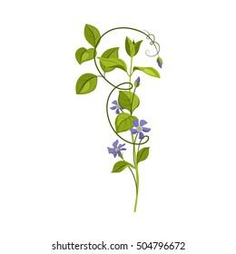 Bindweed Wild Flower Hand Drawn Detailed Illustration