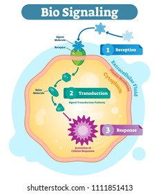 Bio signaling cell communication network system, micro biological anatomy labeled diagram vector illustration with receptor, transduction and response activity. Cell cross section scheme.