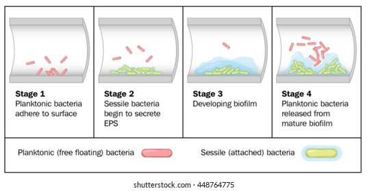Biofilm formation by free-floating bacteria in the lumen of a tube