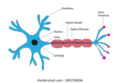 Biological anatomy of typical neuron cell, detailed neurone cells, detailed neuron cell, basic structure of typical neuron cells, Human nerve cell, cell body (soma), dendrites, and a single axon