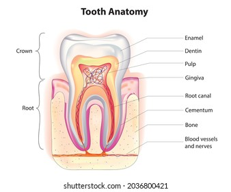 Biological illustration of detailed tooth anatomy, The structure of teeth, enamel, which is wholly inorganic and is the hardest tissue in the body, covers part or all of the crown of the tooth