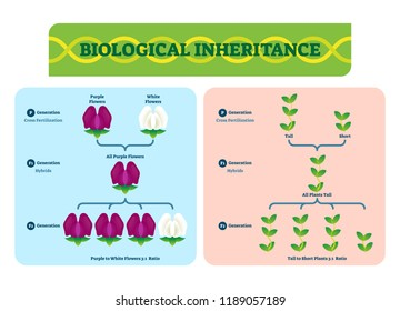Biological inheritance plants vector illustration. Diagram with color and small, tall examples. Scheme of cross fertilization, hybrids and generation and its ratio.