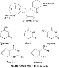 biology: biomolecule nucleic acid