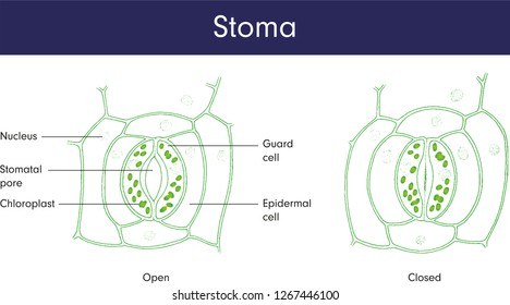 Leaf Stoma Images, Stock Photos & Vectors | Shutterstock
