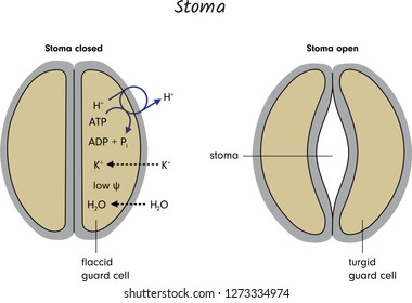 Stoma Images, Stock Photos & Vectors | Shutterstock