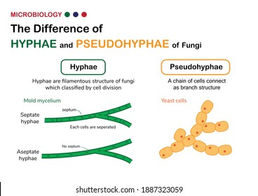 Biology diagram show difference of true hyphae (hypha) in fungi mold with pseudohyphae in yeast