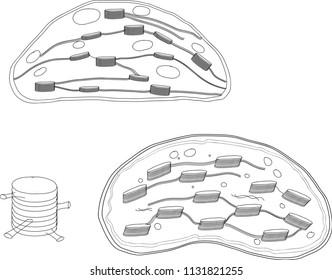 chloroplast images  stock photos  u0026 vectors