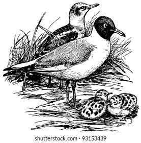 Bird Black-headed Gull