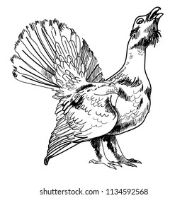 Bird capercaillie, black grouse. Hunting trophy. Drawing by hand in vintage style. Strokes, lines. Pencil drawing.