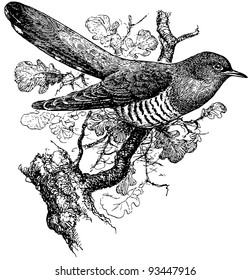 Bird Common Cuckoo
