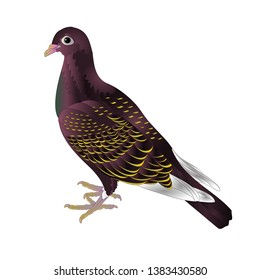 Bird cute small ornamental young pigeon on a white background  vintage vector illustration editable Hand draw